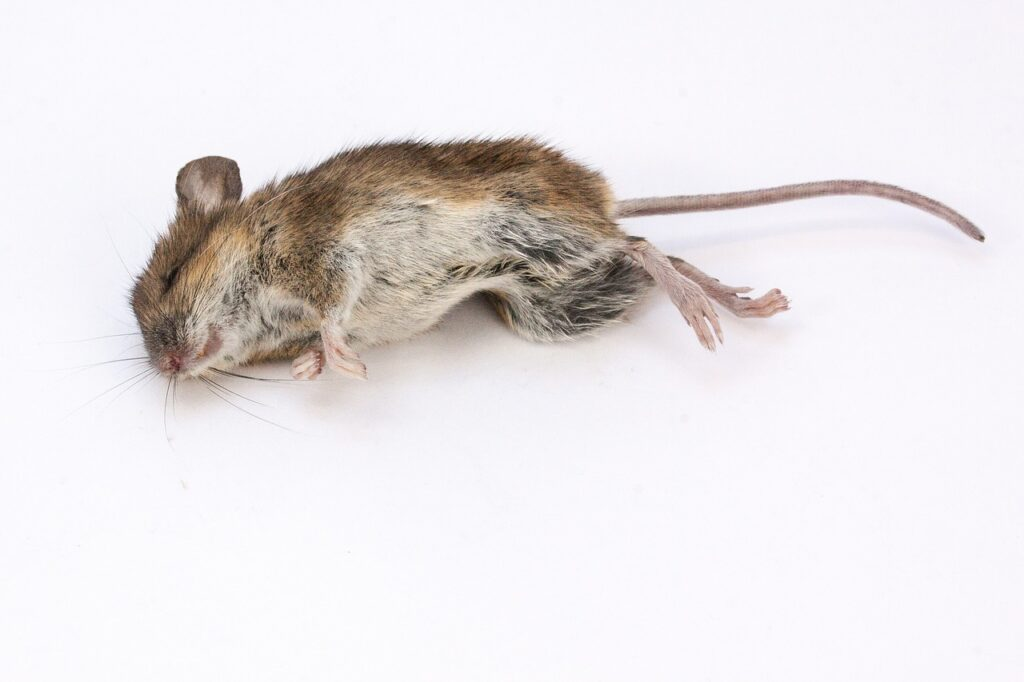 How To Clean Up After Mice In Kitchen Step By Step Guide
